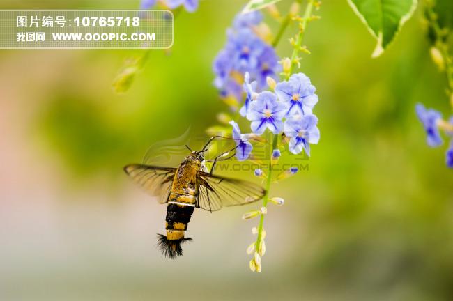 蜂鸟和花朵图片素材(图片编号:10765718)_动物图片库