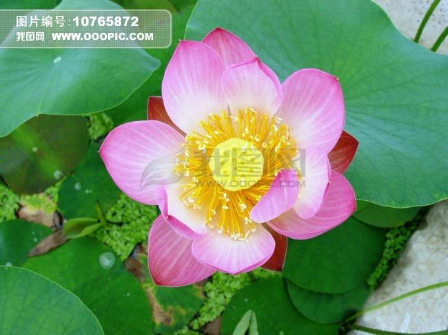 盛开的红莲图片素材 10765872