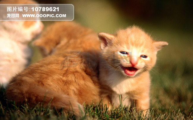 可爱的小猫写真图片素材(图片编号:10789621)_动物库