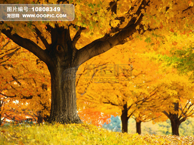 金色的秋天的颜色大树林图片素材