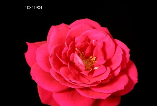 玫瑰花绽放特写花卉摄影系列视频