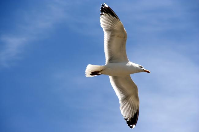 海鸥的天空中翱翔模板下载 10894129 动物 动物植物