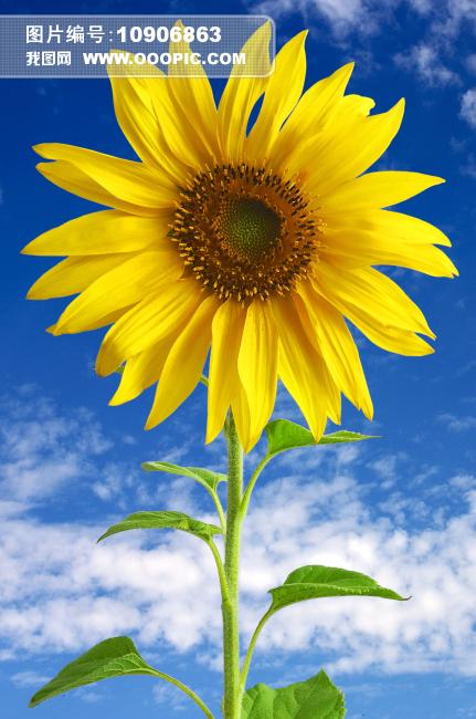 正版图片 动物植物 植物 > 蓝天白云向日葵背景图  上一个下一个 蓝天