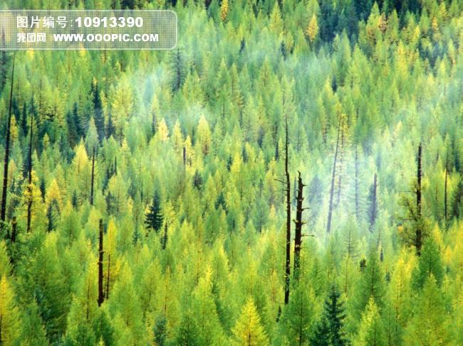 松树林图片_自然风景图片
