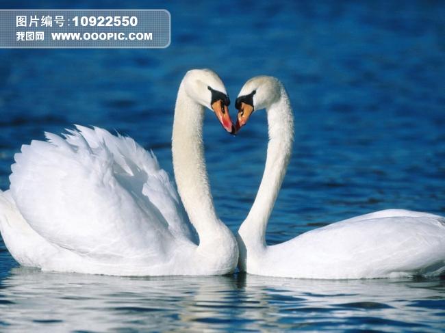 水面上的两只白天鹅图片