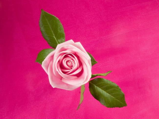 一支玫瑰花模板下载 10929963 植物 动物植物图片