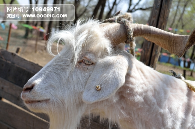 [jpg] 白色山羊模板下载 白色山羊图片下载 山羊 白色 动物 摄影图库