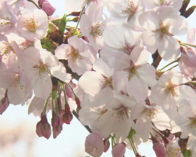 樱花素材模板下载(图片编号:11012961)