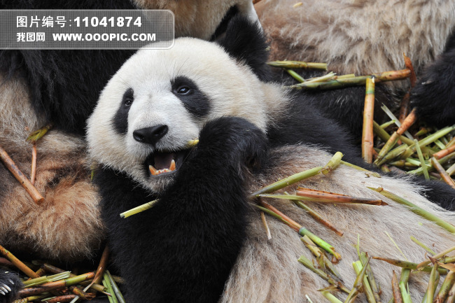 吃竹子的大熊猫