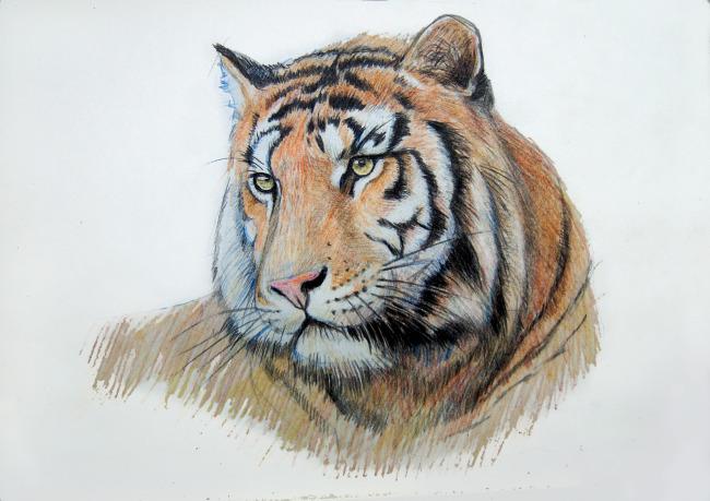 虎手绘彩铅