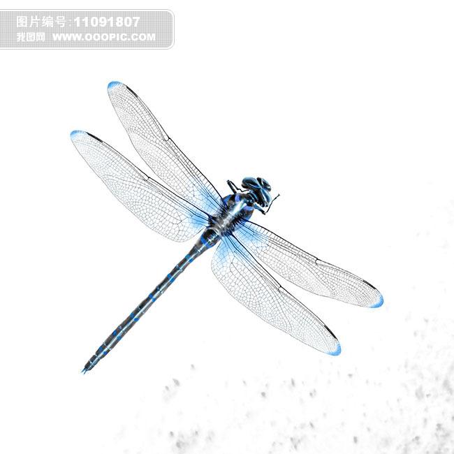 蜻蜓 蜻蜓美女