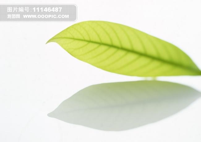 植物 树叶标本