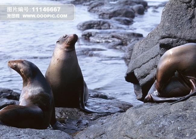 海狮海豹动物图片素材(图片编号:11146667)