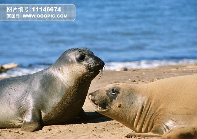 海狮海豹动物图片素材(图片编号:11146674)