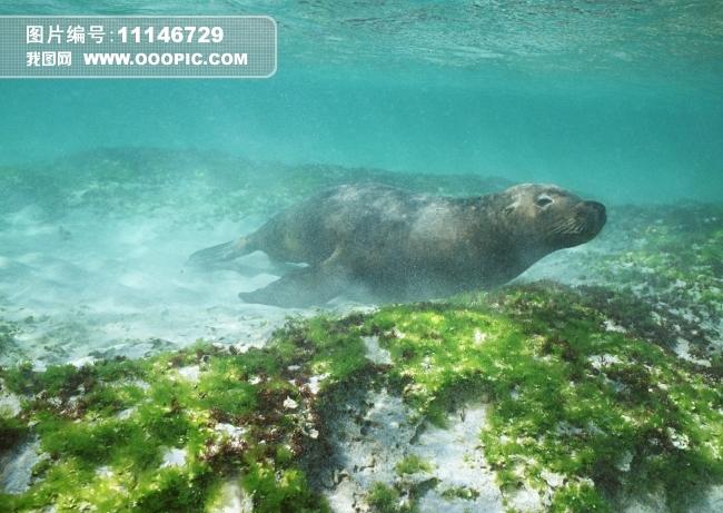 海狮海豹动物图片素材(图片编号:11146729)