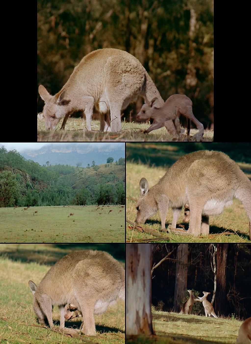 澳洲动物袋鼠实拍视频素材