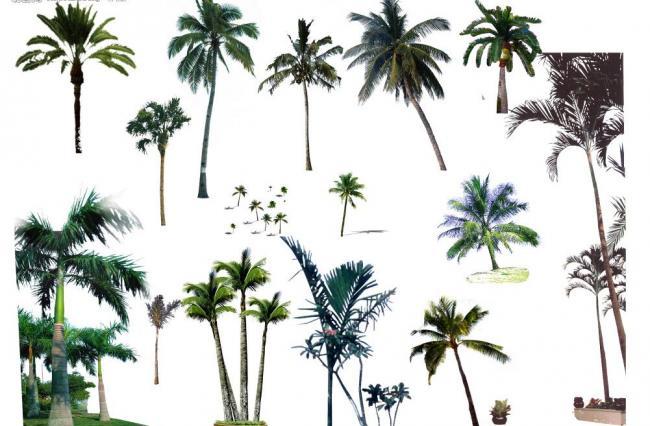 各种椰子树图片