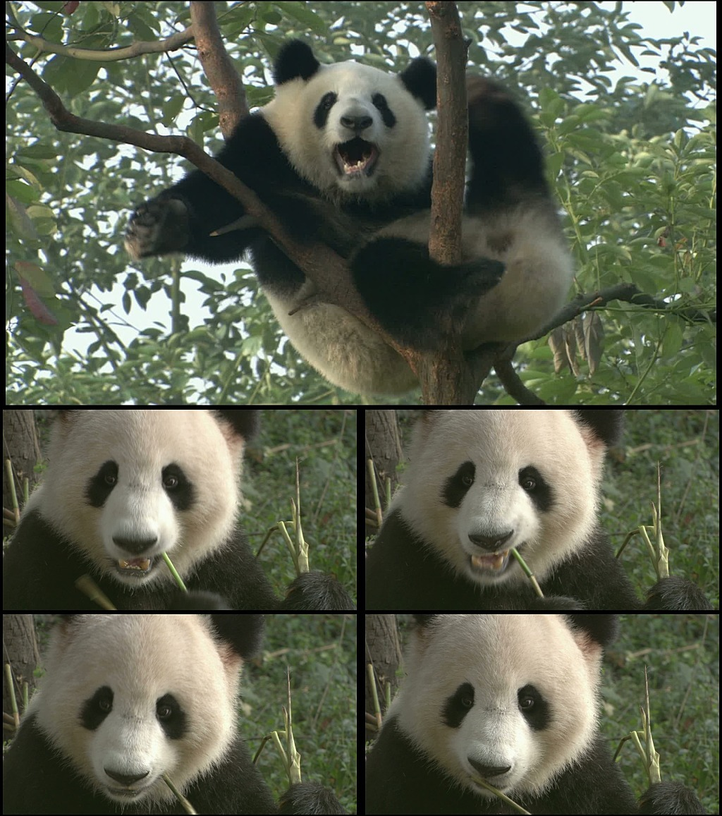 可爱的国宝熊猫简笔画步骤