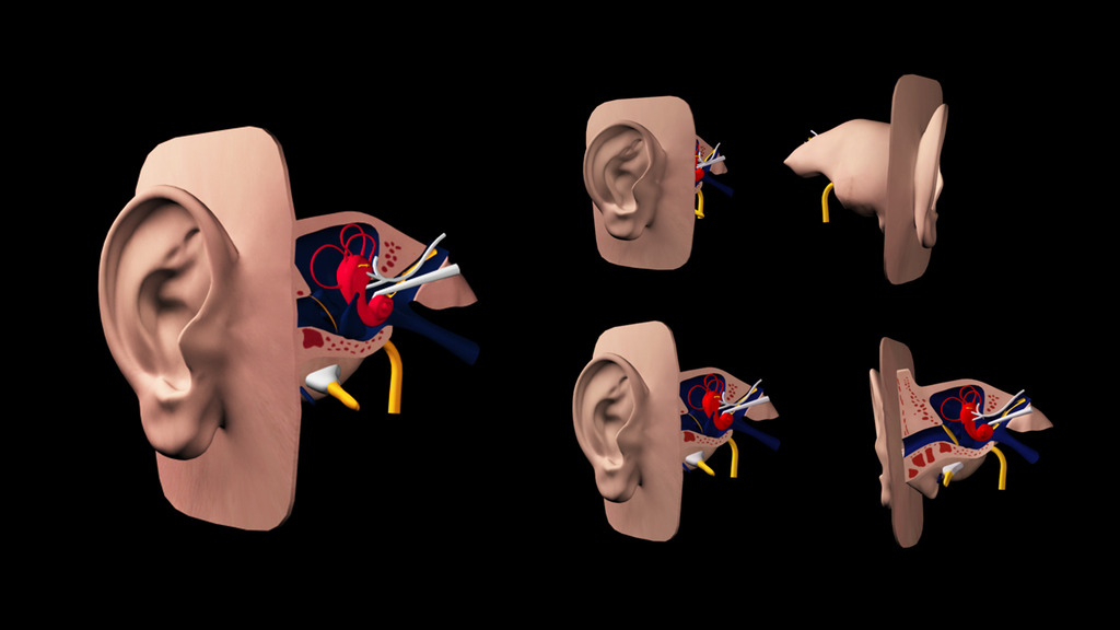 3dsmax耳朵结构模型