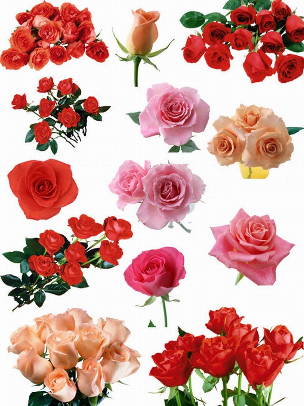 各种玫瑰花设计素材psd模板
