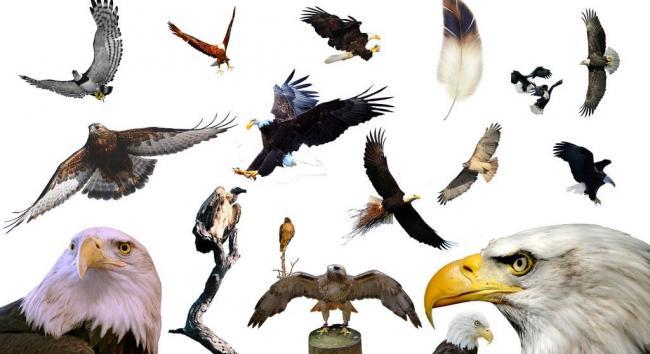 飞翔 的 老鹰 翱翔 的雄鹰图片模板下载