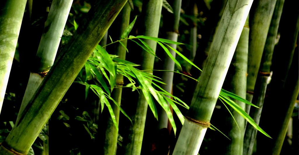 茎像竹子的植物图片
