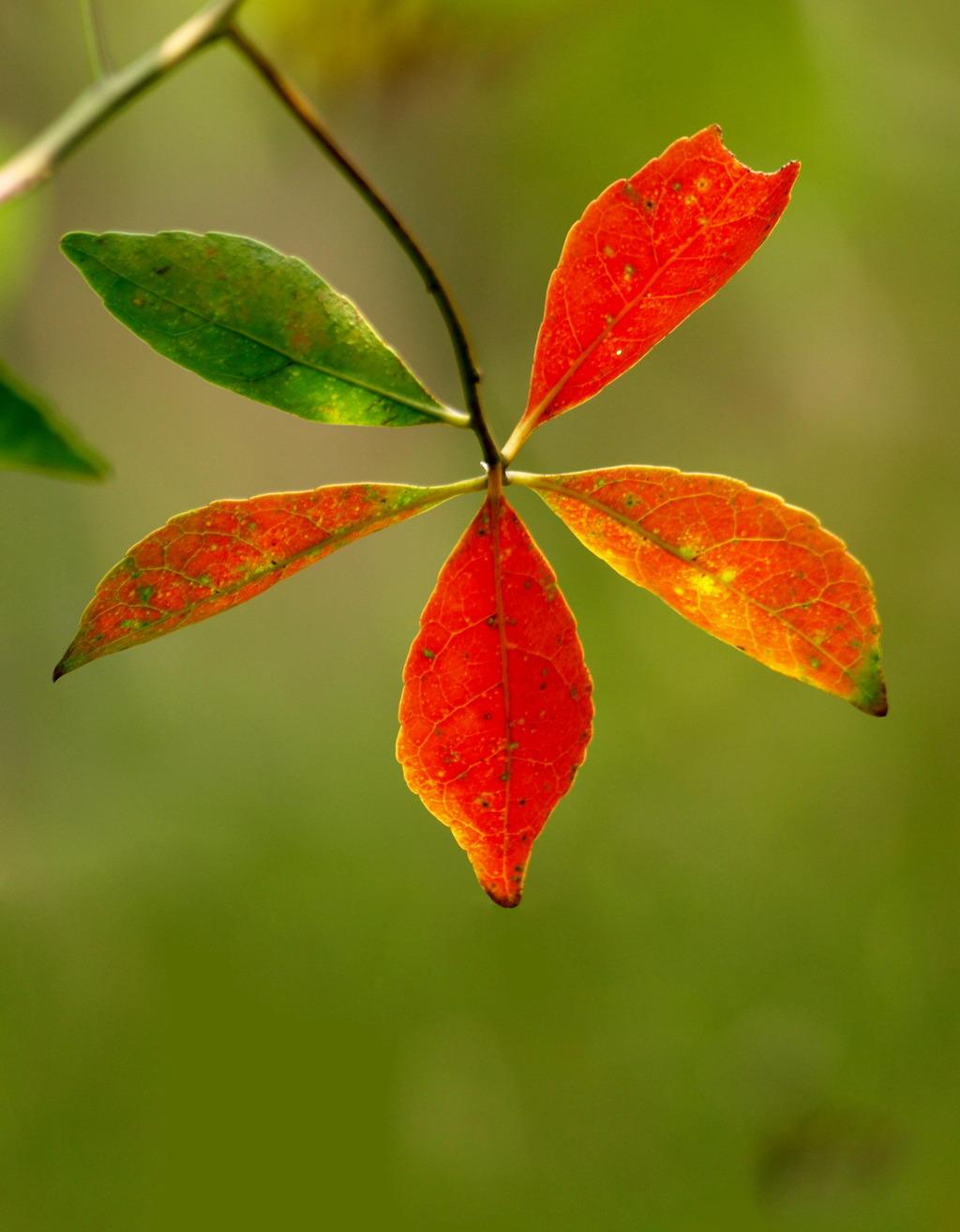 红树叶子模板下载 红树叶子图片下载