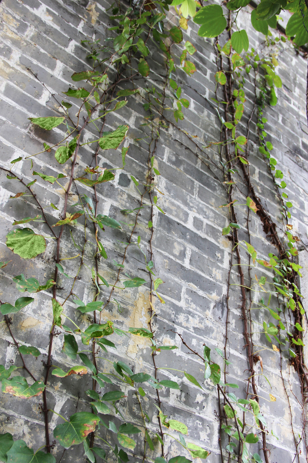 墙上爬藤植物模板下载 墙上爬藤植物图片下载墙上爬藤植物 爬藤植物