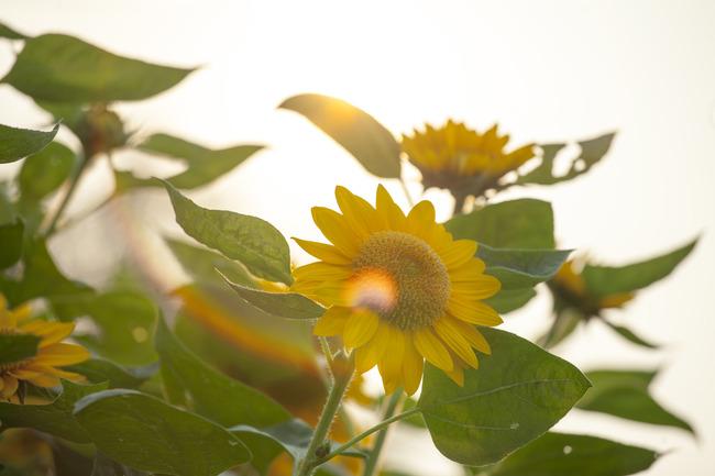 向日葵葵花 金葵花 小清新高清大图