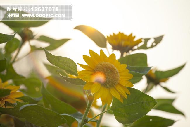 向日葵小清新高清图片