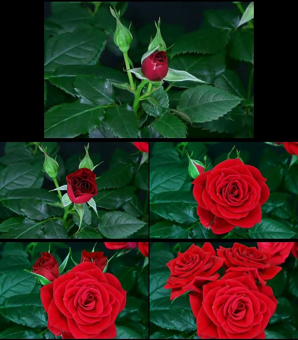 橡皮泥 制作 玫瑰花 视频展示