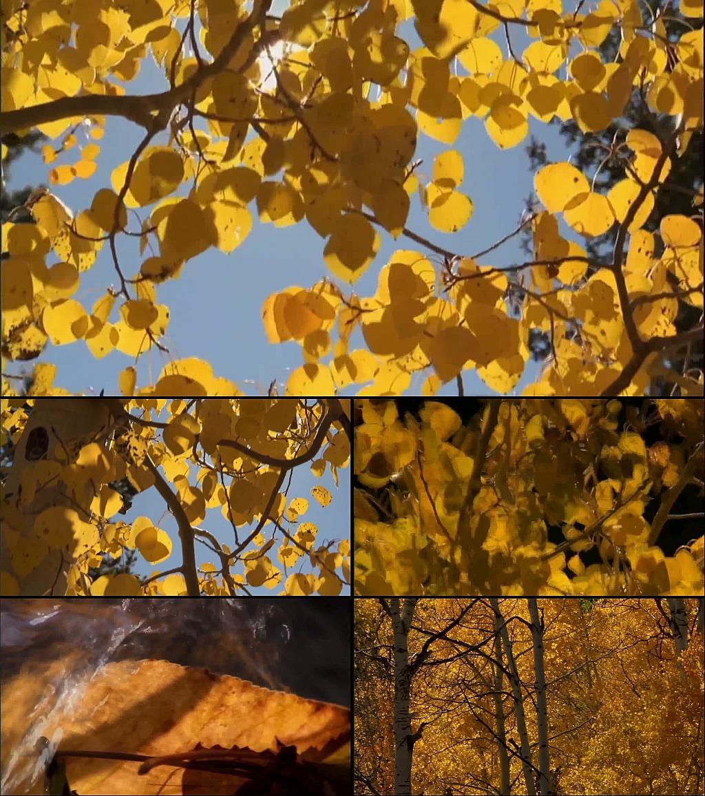 设计作品简介: 金色秋天梧银杏树落叶描写,, 金色秋天梧桐枫树落叶图片