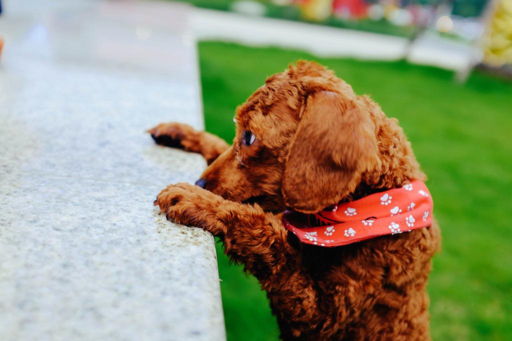 泰迪宠物狗狗高清图片