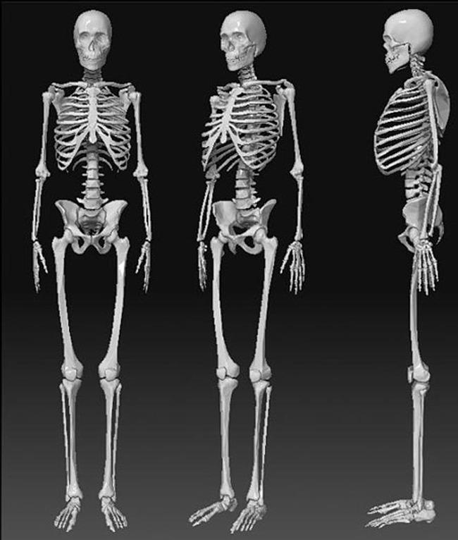 人物骨骼模型模板下载(图片编号:12896800)
