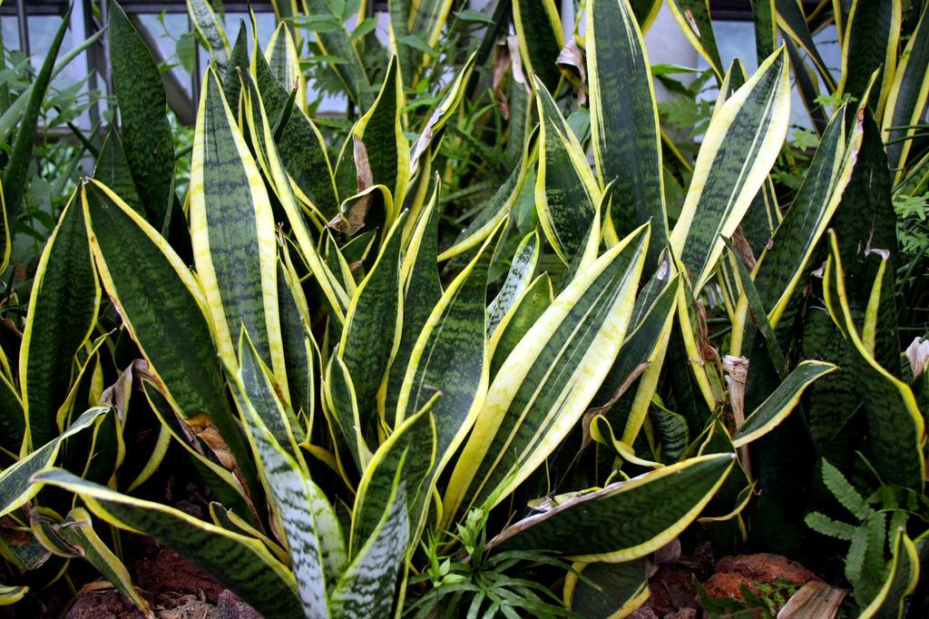 长叶多肉植物