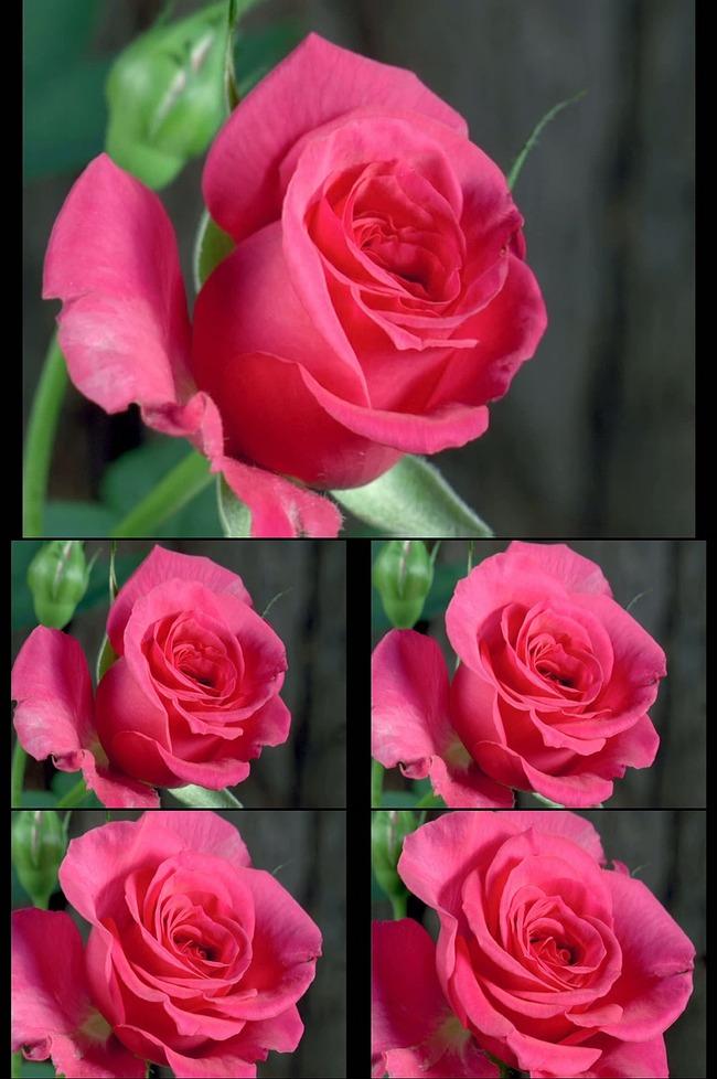 2015高清鲜花玫瑰花绽放动态视频素材图片下载 鲜花盛开视频素材 鲜花