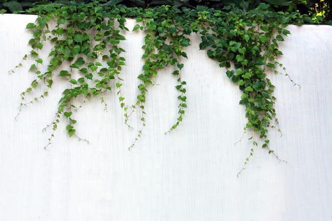 墙上植物模板下载(图片编号:13130861)_植物图片_风景