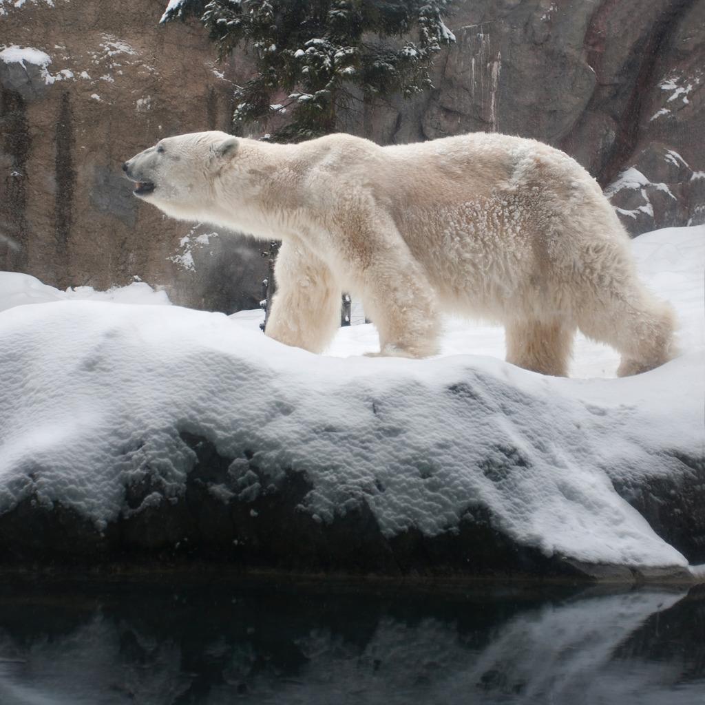[版权图片] 高清北极熊模板下载 高清北极熊图片下载 环境自然冬季