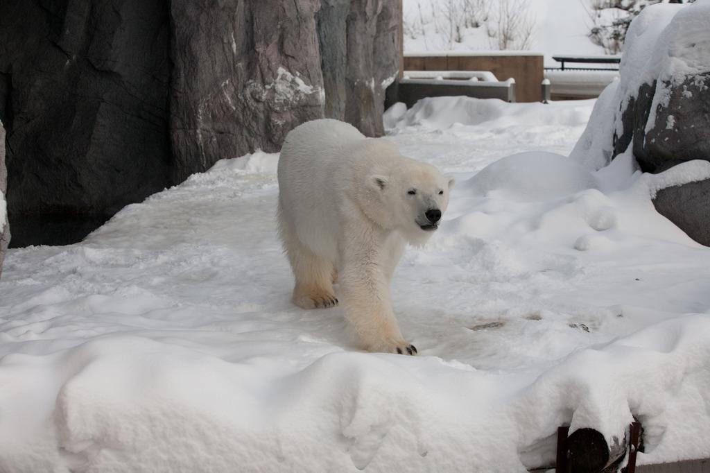 北极熊-5图片下载 环境自然冬季生态动物 高清大图 北极熊 北极 气候