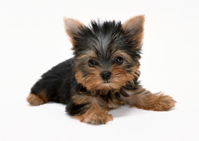 宠物小狗动物世界可爱狗狗犬类