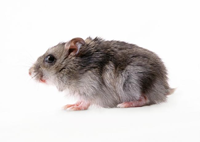老鼠动物世界高清动物特写摄影