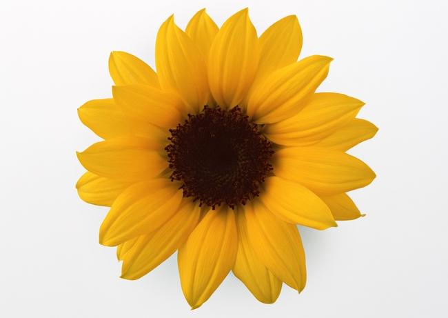 白底鲜花生物植物花朵素材特写