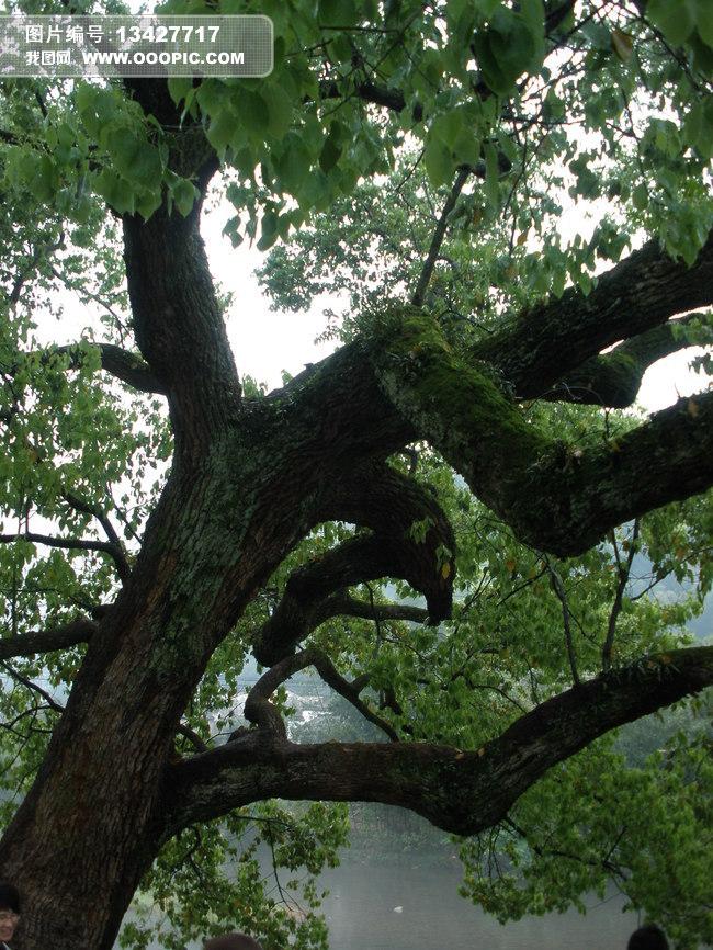 仰视大树摄影照片模板下载