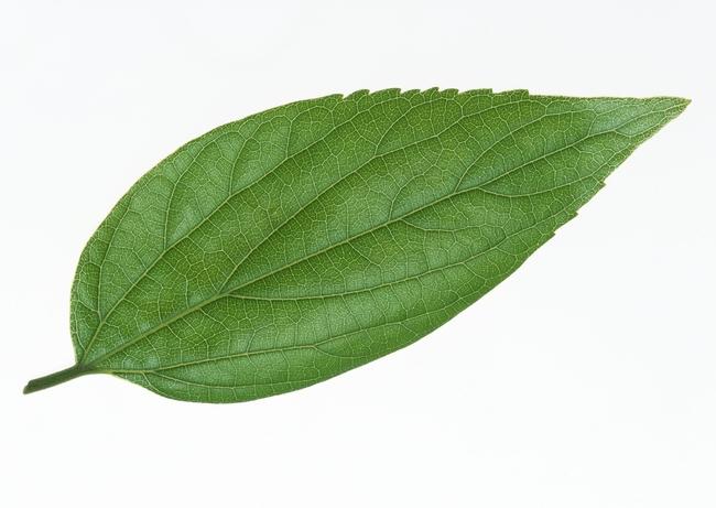 绿叶标本植物白底叶子树叶素材图片