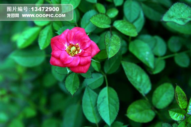 红花绿叶模板下载 红花绿叶图片下载 植物花卉 花卉绿叶 花卉 花朵
