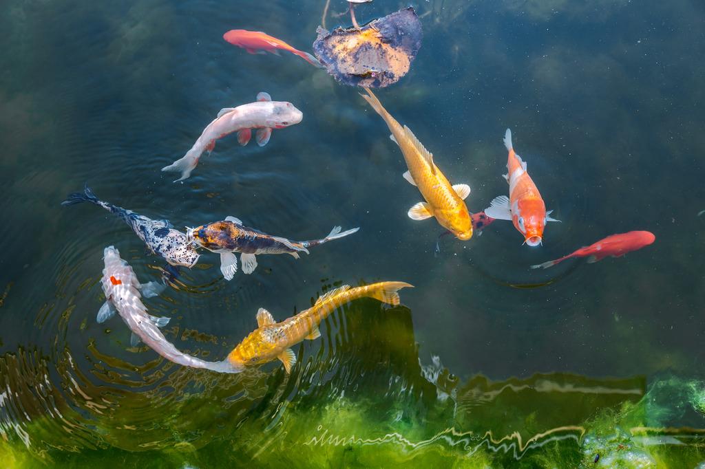 最大鲤鱼图片大全大图