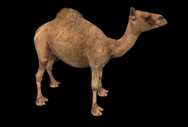 骆驼3d动物模型