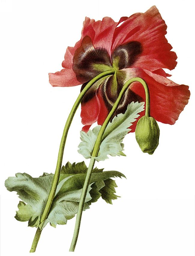 手绘复古植物12