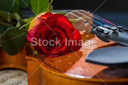 > 小提琴乐谱和玫瑰