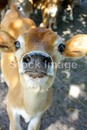农业 动物 宝贝 牛肉 棕色的 小牛 相机 牛      牛 可爱的 农场